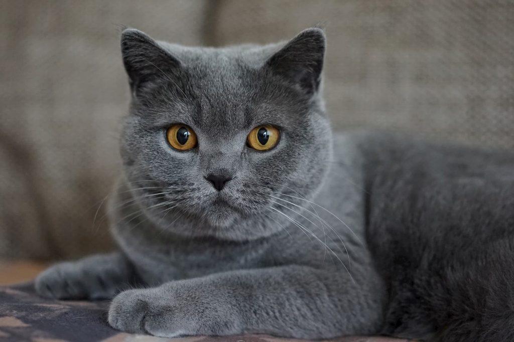 Gri kedi isimleri