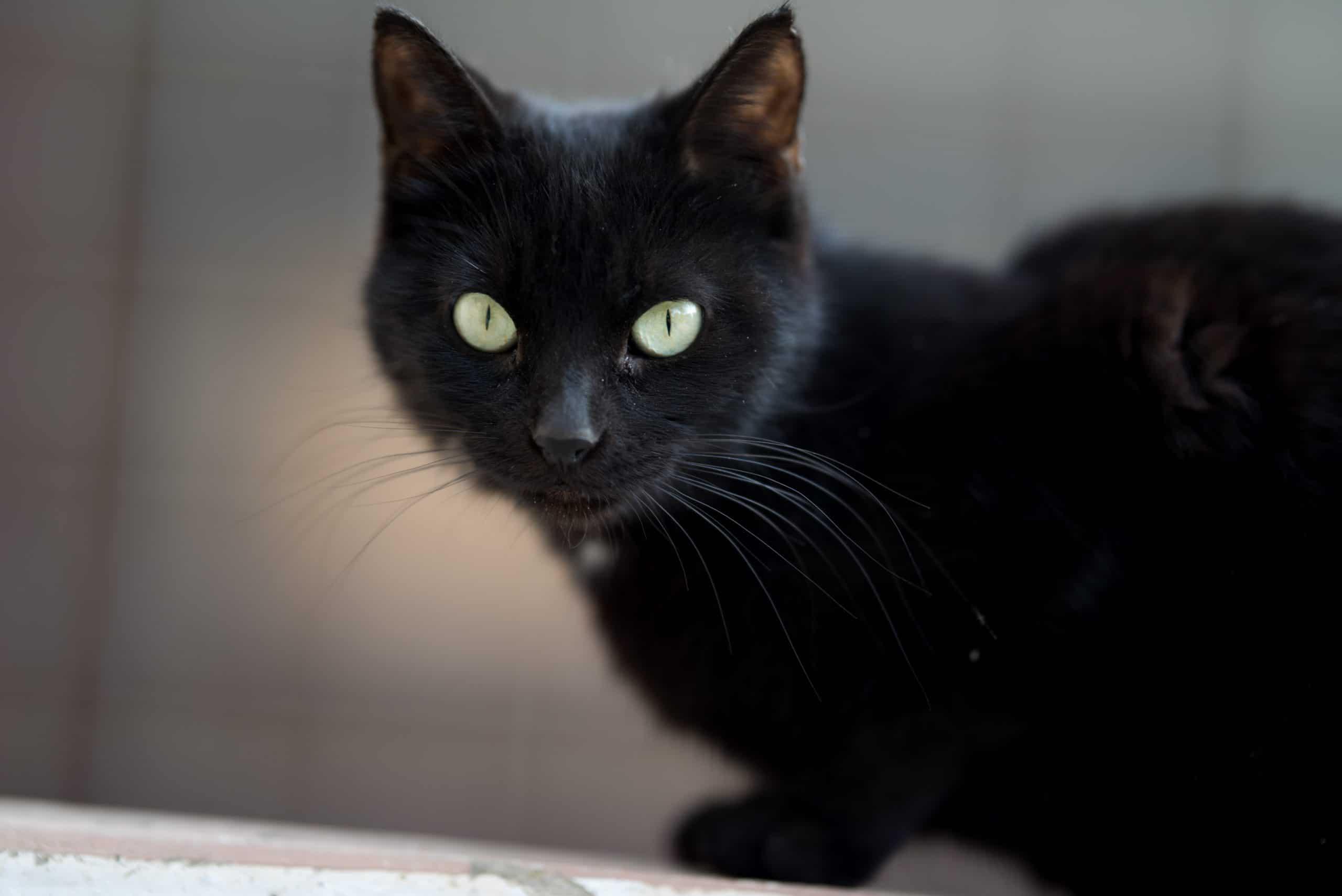 siyah kedi isimleri