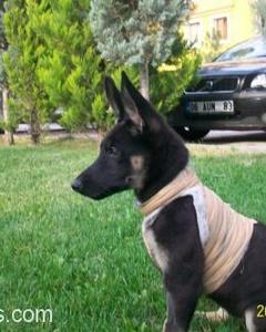 Alman Çoban Köpeğine Acil Yuva, Ankara