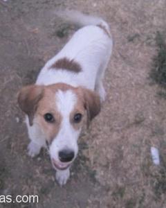 Çok Sevimli Kıpır Kıpır Bi Av Köpeği İzmir Manisa  Ve Çevresi Lütfen Yardım Edin, İzmir