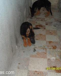 İzmir Safkan Alman Çoban Köpeği, İzmir