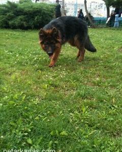 1 Yaşında Dişi Alman Çoban Köpeği, İzmir