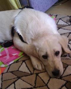 3 Aylık Dişi Labrador Yuva Arıyor, Bursa