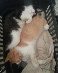 Sarılı Kedi Dişi Siyahlı İse Erkektir., İzmir
