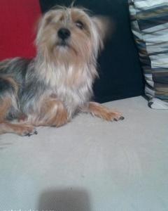Acil 3 Yasinda Yorkshire Terrier, İstanbul