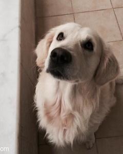 Acil!!Kayıp Köpek Aranıyor, Antalya