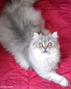 Chinchilla Kedime Yeni Yuva Arıyorum, İstanbul