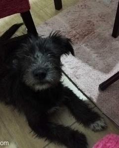 Yakışıklı Siyah Bir Terrierim, Yuva Arıyorum!, Bursa