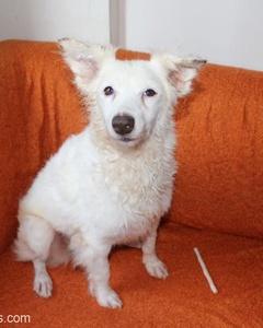 Ufak Irk Terrier Leydi Yuva Arıyor, İstanbul