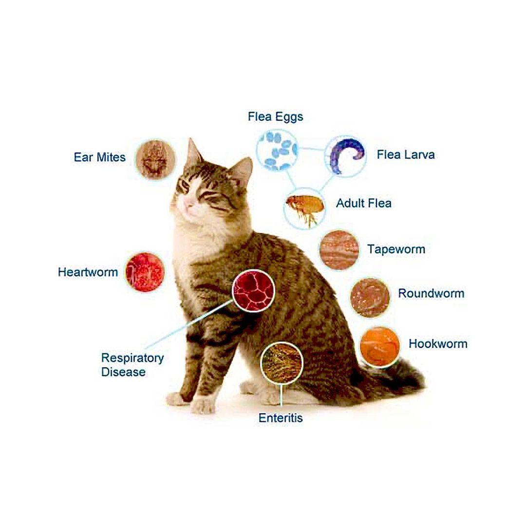 Kedilerde İç Parazit Uygulaması