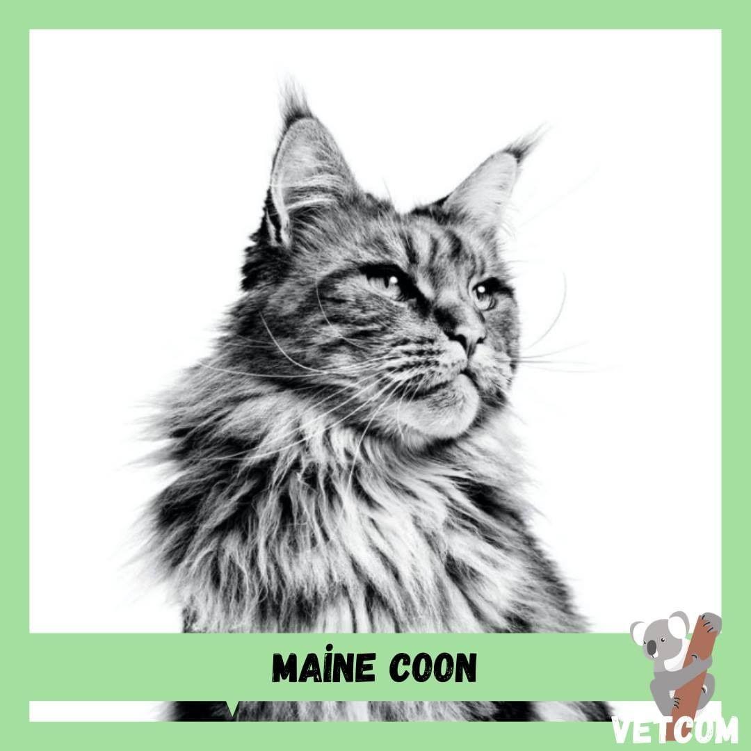 Maine Coon Kedi Özellikleri