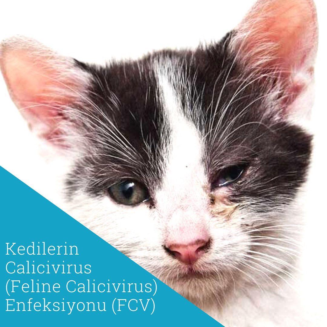 Kedilerin Calicivirus Feline Calicivirus Enfeksiyonu Fcv