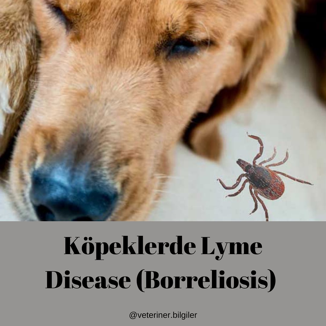 Kopeklerde Lyme Veya Borreliosis Hastalığı