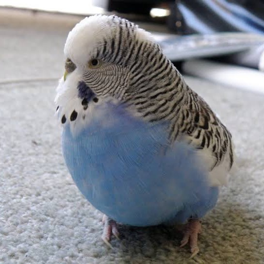 Kuşlarda Şişmanlık