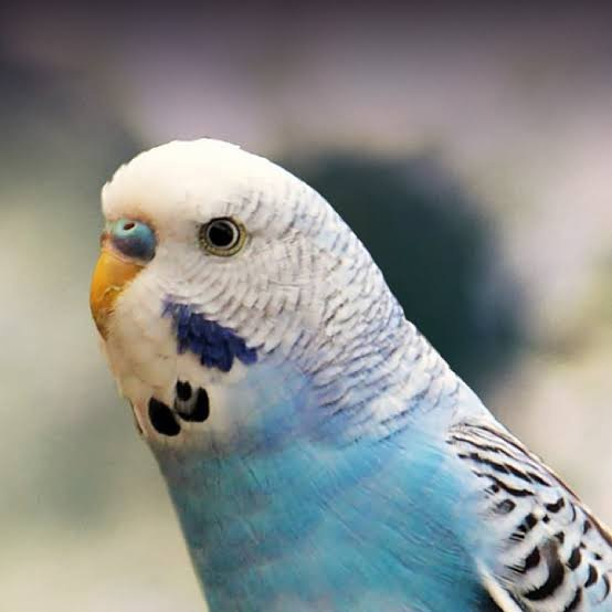 Muhabbet Kuşlarınız Için Doğal Vitaminler