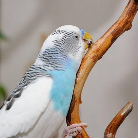 Kuşlara Gaga Bakımı Yapılmalı Mı?