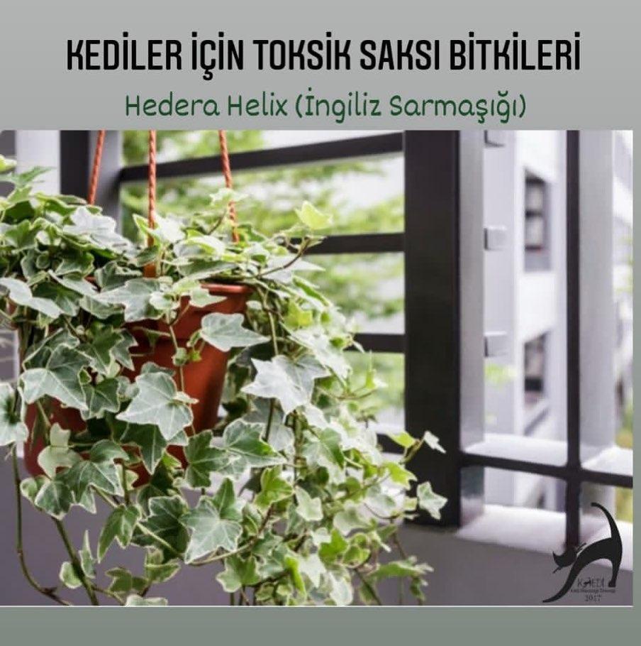 Kediler için zehirli bitkiler : Hedera heli̇x (tatlı sarmaşık,i̇ngiliz sarmaşığı)
