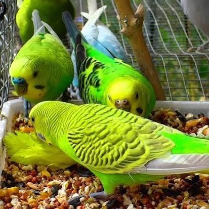 Muhabbet Kuşları İçin Zararlı Besinler nelerdir?