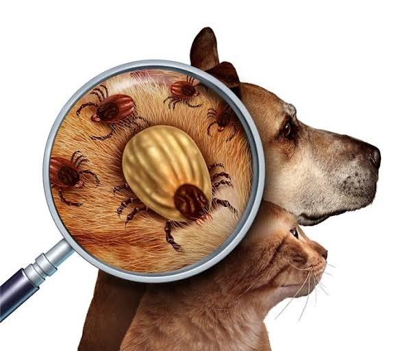 Köpek ve kedilere Kene Nasil Bulaşir Belirtileri Nelerdir?