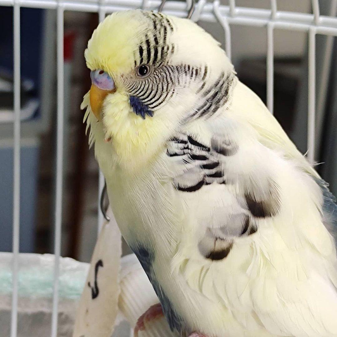 Kuşlar Hastalıklarını Gizler Mi?