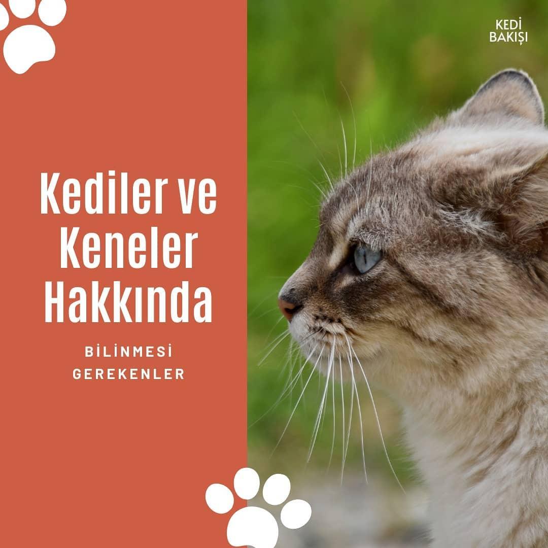 Kedilerde Kene Önlemleri ve Kene tasmaları
