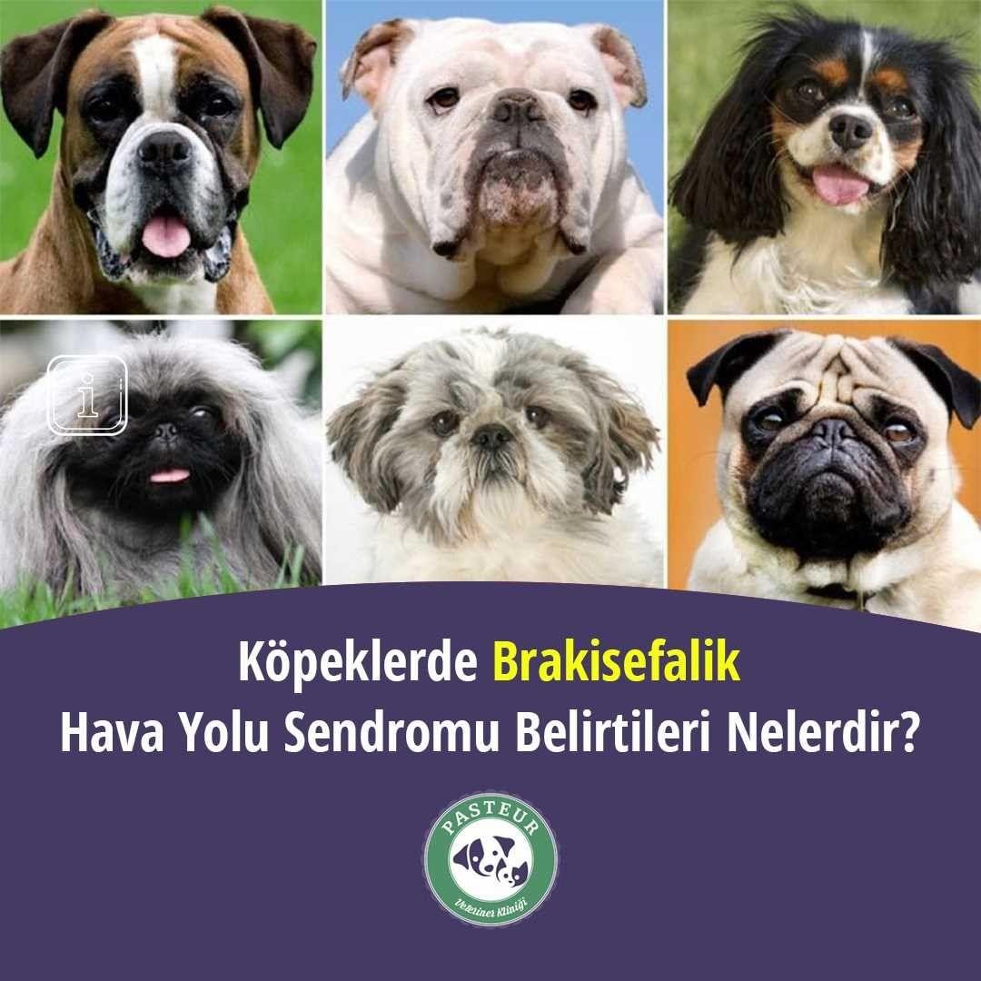 Köpeklerde Brakisefalik Sendromu Belirtileri