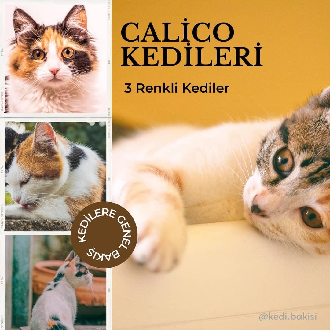 Calico Kedi Tür Özellikleri