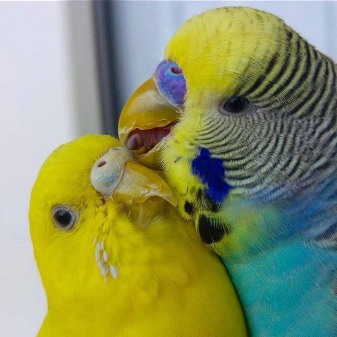 Muhabbet Kuşları Sosyal Canlılardır