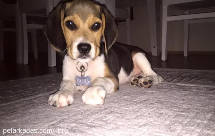 pasa beagle Cover Image