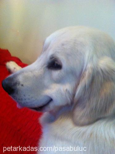 paşa 2 yaşında golden retriever Profile Picture