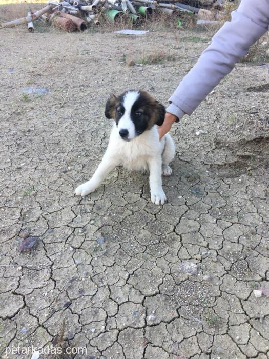 İzmir Yavru Köpek Acil Yuva !!