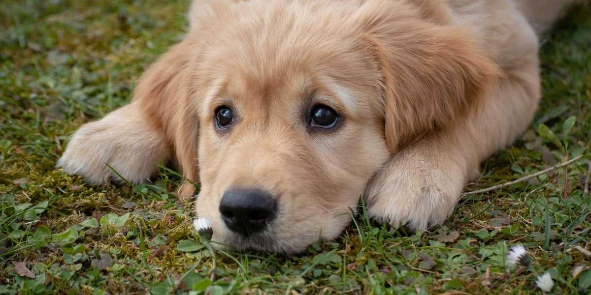 Köpek Yaşı Nasıl Hesaplanır?