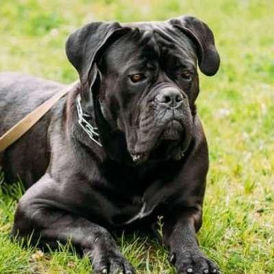 Büyük Köpek Irkları