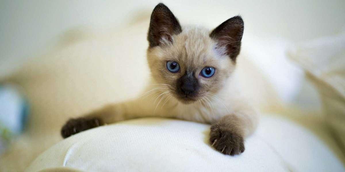 En Küçük Kedi Cinsleri