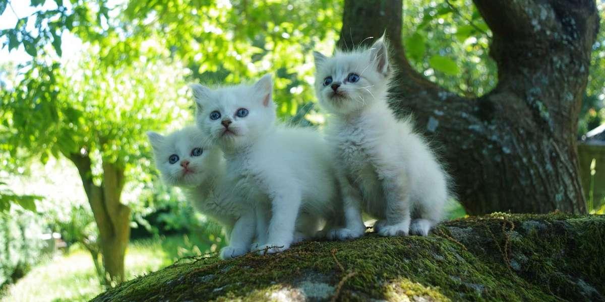 Yavru Kedi Kuma Nasıl Alıştırılır?
